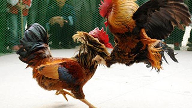 Situs Judi Online Sabung Ayam Paling Favorit