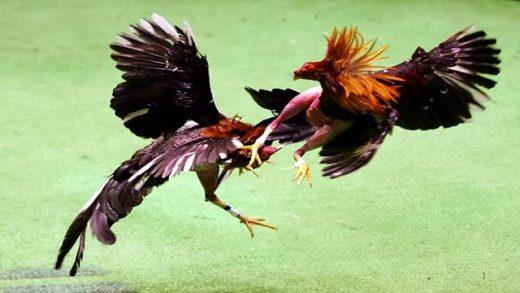 Cara Menang Judi Sabung Ayam Online